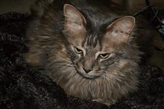 Cozy Jack (Vegan Butterfly) Tags: animal cat feline maine coon cute adorable cozy comfortable furry fur blanket