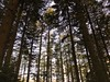 Lariks (klaroen) Tags: utrechtseheuvelrug maarn lariks larch wood park nationaalpark