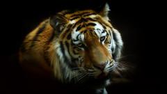 Volodya (dieter-und-marion sempf) Tags: tiger raubtier säugetier natur amurtiger sibirischer sibirischertiger groskatze katzenartig katze tiergartennürnberg
