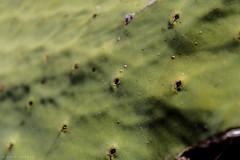 Cactus  -  Kaktus (CJH Natural Photography) Tags: cactus kaktus sunlight sun green leaf blatt macro makro nature natural outdoor plant sigma1770 fauna