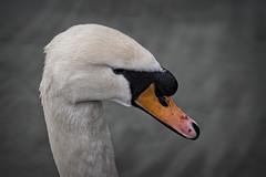 Mister Swan (MrBlueSky*) Tags: swan bird waterfoul aquaticbird animal nature outdoor water kewgardens royalbotanicgardens london ngc aficionados pentax pentaxart pentaxlife pentaxk1 pentaxawards pentaxflickraward
