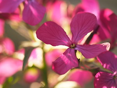 sunny minutes (michaelmueller410) Tags: flower flowers blume sunlight easter purple lila spring
