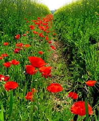IMG_0024x (gzammarchi) Tags: italia paesaggio natura pianura campagna ravenna borgomontone fiore papavero fosso explore
