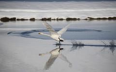 Iceland (richard.mcmanus.) Tags: mcmanus whooperswan swan vik animal bird arctic iceland