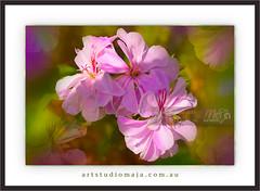 Flower-Collection-Fine-Art-DSC_5587 (fatima_suljagic) Tags: fineartprints fatimasuljagicmelbourne flowers photographermelbourne canvasprints photoprints photographicservices nature naturephotographer melbourne australia