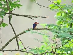 African Pygmy Kingfisher (benyeuda) Tags: bird birdwatching africa centralafricanrepubilc car ispidinapicta ceyxpictus beautifulbird colorfulbird beautifulkingfisher smallkingfisher tinybird tinykingfisher smallbird prettybird