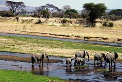 Rolling Stones of Africa (Tomas Pfeifer) Tags: elephants animals ruaha tanzania river safari