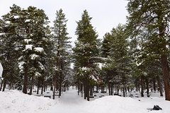 DAV_0368 Bosque alrededor del lago Inari (David Barrio López) Tags: arbol tree pino siida sajos sami circulopolarartico arcticcircle holidayvillageinarihotel lomakyläinari reno reindeer poro nieve snow aurora boreal auroraboreal northernlights auroraborealis polarlights inari ivalo laponia lapland finlandia finland nikon d610 nikond610 nikkor2470mm 2470mm afsnikkor2470mmf28ged davidbarriolópez davidbarrio