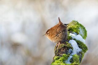 Winter Wren / Winterkoning (Troglodytes troglodytes)