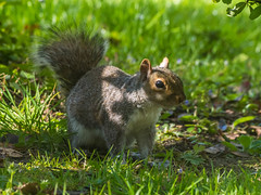 Freeze Your Under Arrest for Nicking all the Nuts (RS400) Tags: squirrel animals pets grass zoom lens wow amazing close up fur green wild wildlife life under arrest nuts olympus bath park
