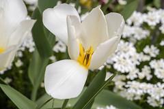 Weiße Tulpe mit nach unten klappendem Blütenblatt - White tulip with one petal bent down (riesebusch) Tags: berlin garten marzahn