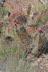 CAD0010083a (jerryoldenettel) Tags: 170418 2017 cactaceae caryophyllales chupaderamesa claretcupcactus coreeudicots echinocereus echinocereustriglochidiatus nm radiotowers socorroco wildflower cactus flower