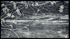 New Growth #1 (dougkuony) Tags: newgrowth vines spring texture mono monochrome bw blackandwhite hdr