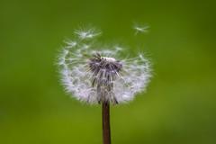Fly Away (RK - Design · Photography) Tags: green dandelion blur dof bokeh fly flower nature macro garden