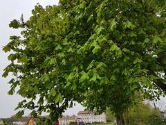 Chestnut tree (Tammy Jackson) Tags: chestnut spring