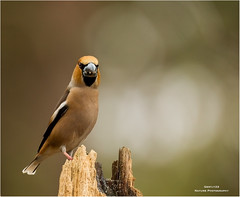 Hawfinch male - Appelvink 140417(2) (Gertj123) Tags: animal birds bokeh resting holterberg thenetherlands tree male nature canoneos1dmarkiv sigma120300mmf28 spring