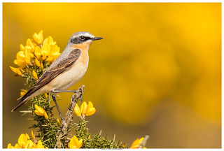 Wheatear On Gorse