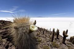 Flower (Joost10000) Tags: cactus cacti flower isladepescados bolivia southamerica outdoors wilderness wild salt lake lago salardeuyuni scenic nature natur natura white sky mountains canon canon5d eos saltlake saltflats