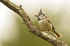 mésange huppée 4 (frederic.laroche6) Tags: mesange bird oiseau animalier nikon d7100 nikkor 200 500 f56 greoux provence