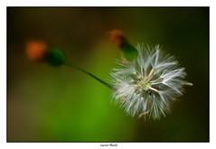Aérien (Laurent Asselin) Tags: abémochorie aérien souffle graine vent plante macro guyane