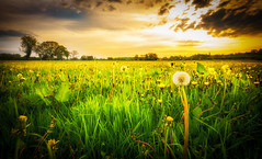 Dandelions (Wayne Hodge) Tags: dandelions outdoors fields sunrise usk monmouthshire dawn weeds countryside morning