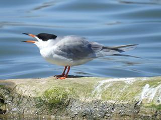 Common Tern, Sterna hirundo (2)