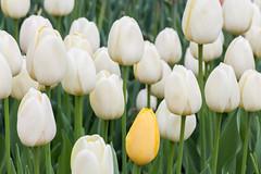 Albany Tulips 2017 (no3rdw) Tags: albany ny tulip tulips flowers festival