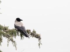 Hooded Crow (Corvus cornix) (piazzi1969) Tags: elements corvids crows nebelkrähe iran hoodedcrow wildlife fauna birds corvuscornix tehran middleeast canon eos 7d markii ef100400mm krähen