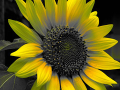 (Reinley) Tags: sunflower selectivecolor selectivecoloring yellow flowers colorsplash