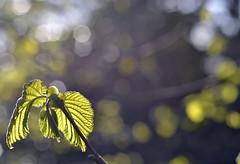 hazel leaf bud burst in the sunshine (conall..) Tags: hazel corylus avellana light raynox dcr250 macro closeup helen helens tower clandeboye estate northdown backlit backlight intothelight spring glowing leaves nikonafsnikkorf18glens50mm