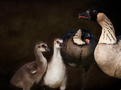 'Hawaiian Goose Family' (Jonathan Casey) Tags: hawaiian goose geese gosling portrait family d810 200mm nikon f2 vr