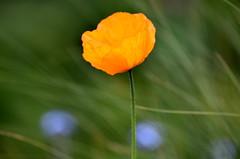 Orange and Blue. (pstone646) Tags: flowers flora bokeh nature plants orange blue green closeup californianpoppy poppy kent