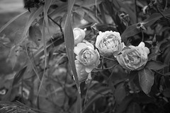 roses, clustered, leaves, Uptown, New Orleans, Louisiana, Nikon D40, Sigma 18-50mm EX DC MACRO, 4.26.17 (steve aimone) Tags: roses roseforms leaves uptown neworleans louisiana nikond40 sigma1850mmexdcmacro flowers floral floralforms monochrome monochromatic blackandwhite macro