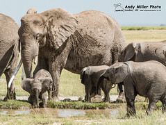 20160217-10-30-20_C018967 2000px (ajm057) Tags: 8takenusing africa africanelephantloxodontaafricana africanbushelephantloxodontaafricana amboselinationalpark andymillerphotolondonuk elephantidaeelephants kenya loxodonta mammal nikond810 proboscideaelephants reservesparks wildlifephotography kajiado ke african elephant