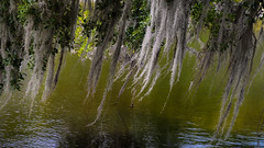 Drifting over the water (Tim Ravenscroft) Tags: lichen usnea oldmansbeard water lake pond sarasota florida hasselblad x1d ringling