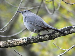 Gray Catbird (RonG58) Tags: pictures new trip travel light usa color bird film nature birds fauna forest geotagged photography us photo spring woods flora raw day image photos live wildlife birding maine picture images photograph monmouth digitalcamera migration tori exploration habitat mori photooftheday picoftheday graycatbird greycatbird dumetellacarolinensis birdwalk loiseau fugifilm lafort natureexploration elpjaro dervogel rong58 finepixhs50exr