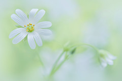 Spring White (Jacky Parker Floral Art) Tags: flowers white flower macro art nature floral horizontal closeup woodland garden landscape spring flora creative bloom flowering format wildflower orientation perennial stellariaholostea greaterstitchwort