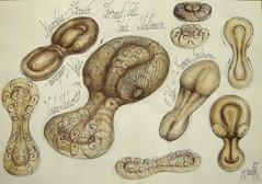 46 Unda stationara lichide vascoase  soliton toroidal dublu Embrion trilobit fosil similaritate vortex principiu, (kelemengabi) Tags: vortex gabriel standing spiral wave theory sphere helix universal resonance kelemen