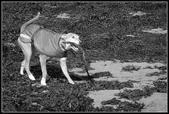 Again! (Donald Noble) Tags: sea dog seaweed skye beach water monochrome animal fauna landscape mammal scotland canine stick algae ord seashore sleat canislupusfamiliaris