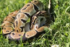 Loki Eating a Mouse (Joshua.McC) Tags: mouse ballpython snakeeating coiling snakeeatingamouse pythoneatingamouse