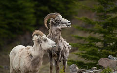 2 Bighorn sheep (Ryan Gardiner) Tags: canada june nikon sheep wildlife alberta molting