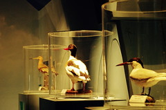 Taxidermia (Helodie) Tags: bird museum duck musee normandie montsaintmichel baie vains taxidermia
