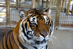 Battle Scars (theconnormayfield) Tags: nature animal zoo sad stripes wildlife tiger lion caged scars