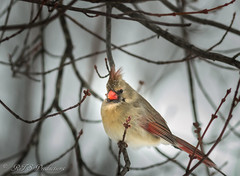 Cardinal on a chilly, snowy day (Rick Smotherman) Tags: wood trees winter sky snow stpeters nature birds canon garden outdoors morninglight backyard overcast 7d february cloudysky cardinals songbirds canon300mmf4l canon7d