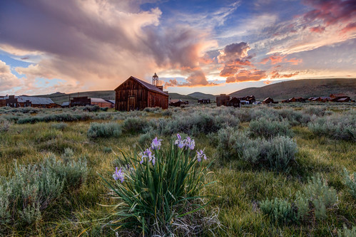 Wild Iris at Sunset in Bodie State Historic Park