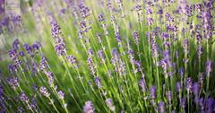 lavender... again (desomnis) Tags: plants nature 50mm dof bokeh f14 smooth lavender depthoffield 50mmf14 herbage 6d lavendel canon50mm lavandula canon50mmf14 canon50mmf14usm canon6d desomnis
