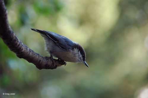 Photo - Pygmy Nuthatch