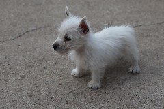 Eleanor (IPMT) Tags: dog white west cute puppy westie adorable terrier highland pup