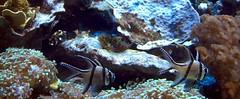 Muddy Mud Skipper! (walknboston) Tags: fish boston ma newenglandaquarium aquaticlife