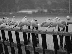 gull gang (Steph-nine) Tags: bw suffolk gulls shotley